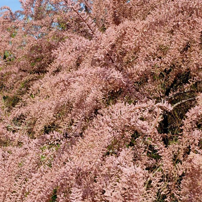 Variétés à floraison printanière Tamarix tetrandra