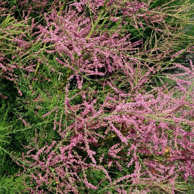 Variétés à floraison estivale Tamarix ramosissima