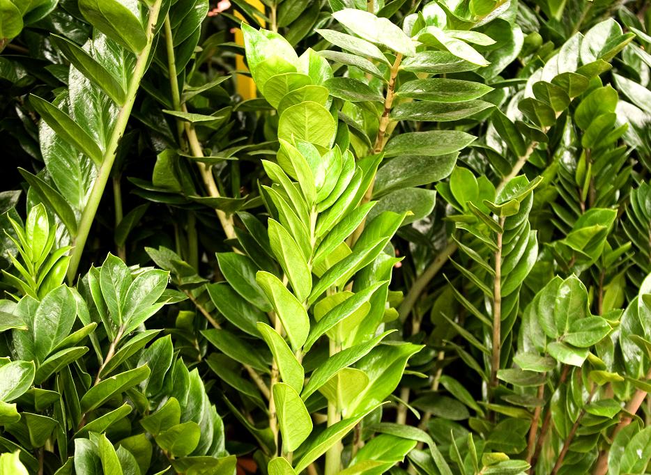 Zamioculcas planter et entretenir les zamioculcas for Noms de plantes avec photos