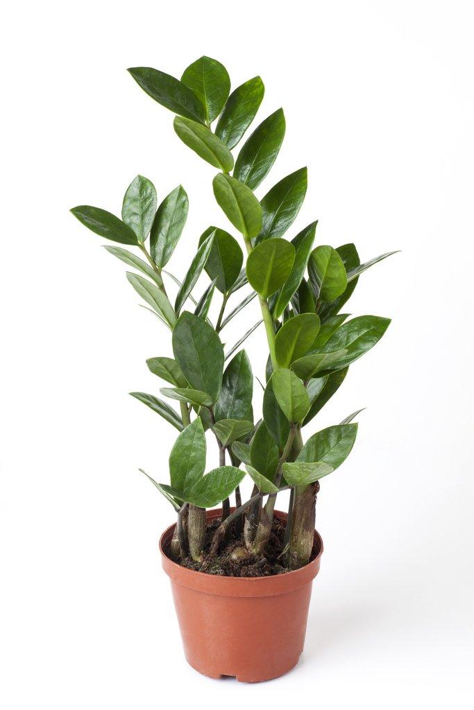 Zamioculcas planter et entretenir les zamioculcas for Conseil sur les plantes