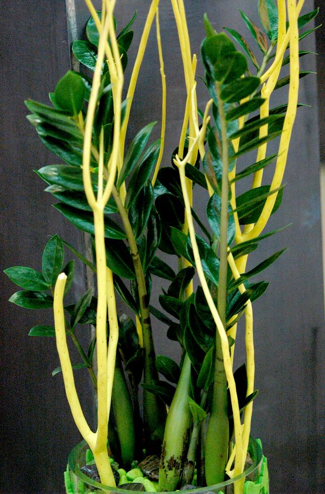 Zamioculcas planter et entretenir les zamioculcas for Plante 4 images 1 mot
