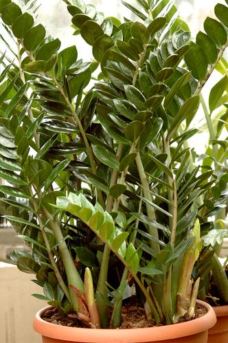 Zamioculcas planter et entretenir les zamioculcas - Rempoter une plante grasse ...