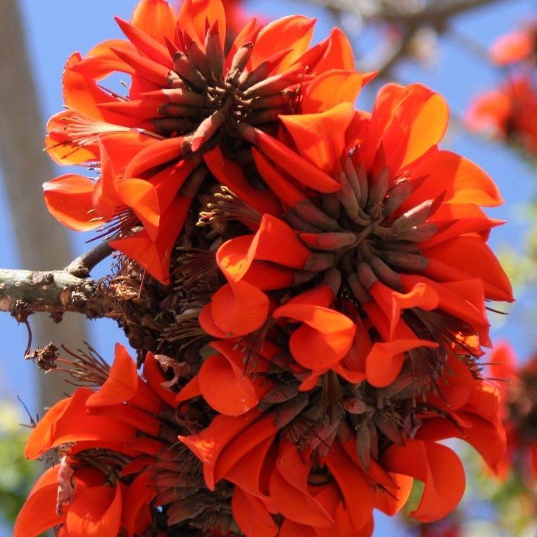 Espèces peu rustiques poussant sur la Côte d'Azur Erythrina caffra