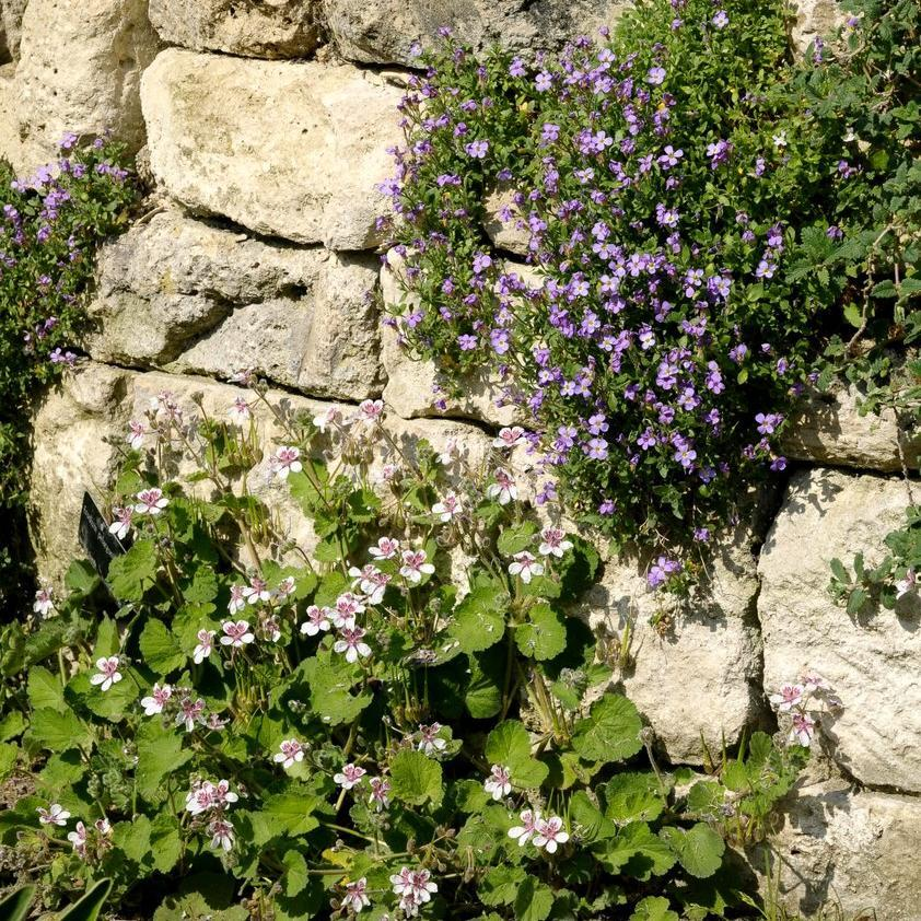 Érodium à fleurs de pélargonium (Erodium pelargoniiflorum)