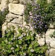 Érodium à fleurs de pélargonium (<em>Erodium pelargoniiflorum</em>)
