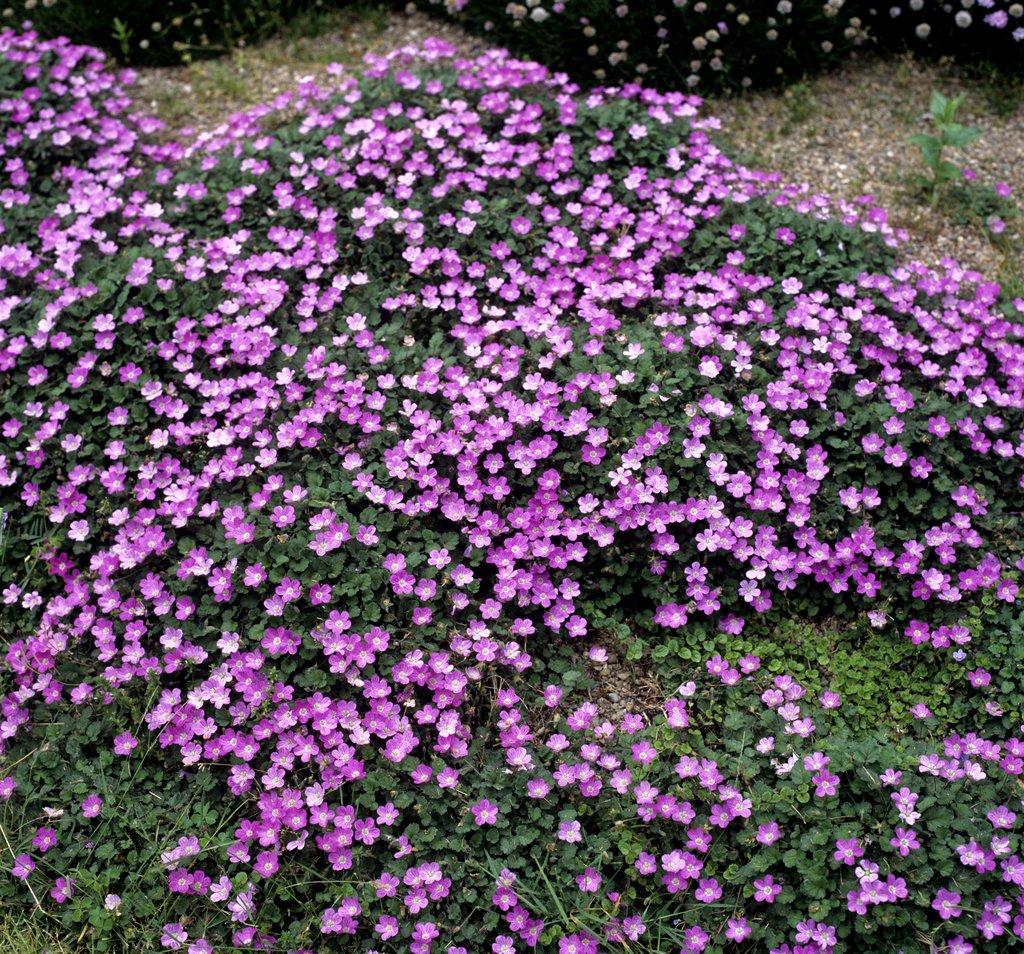 Erodium planter et cultiver ooreka for Piante da aiuola perenni