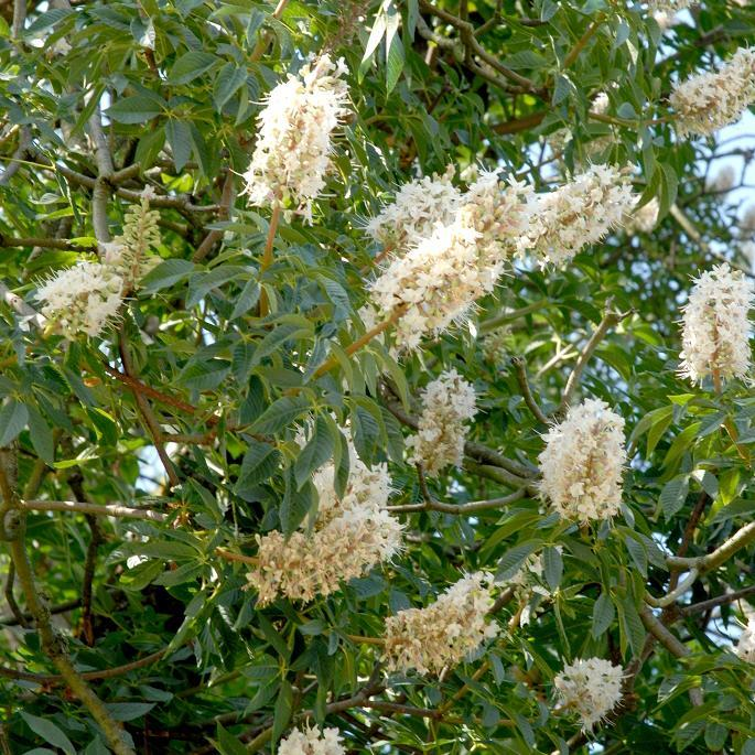 Marronnier d inde planter et cultiver ooreka for Plante 7 folioles