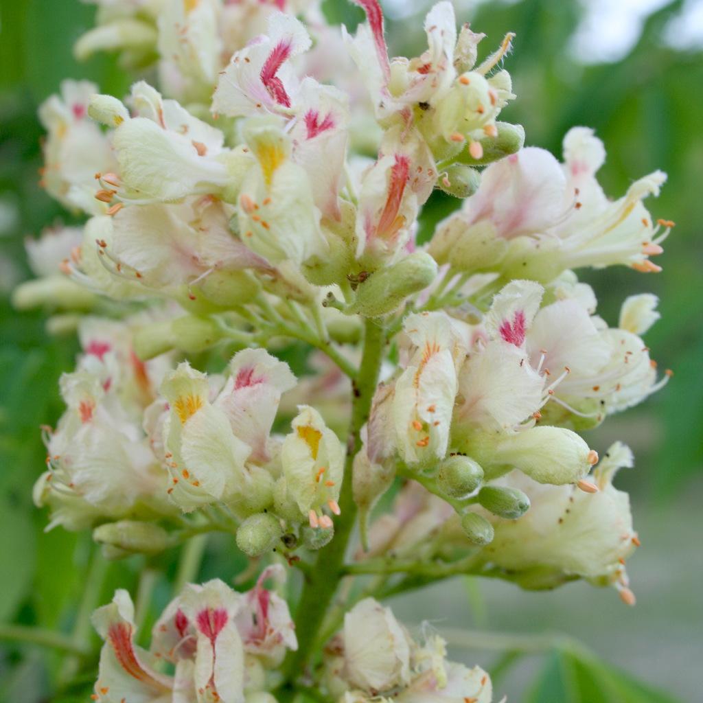 Autres espèces Aesculus indica