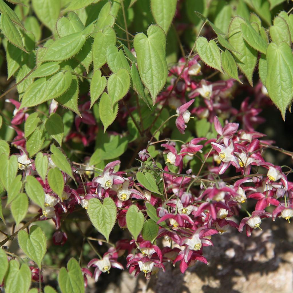 Hybride Fleur des elfes rouge (Epimedium x rubrum)