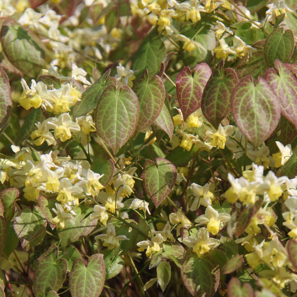 Hybride Fleur des elfes 'Sulfureum' (Epimedium x versicolor 'Sulfureum')