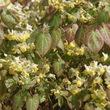 Fleur des elfes 'Sulfureum' (<em>Epimedium</em> x <em>versicolor</em> 'Sulfureum')