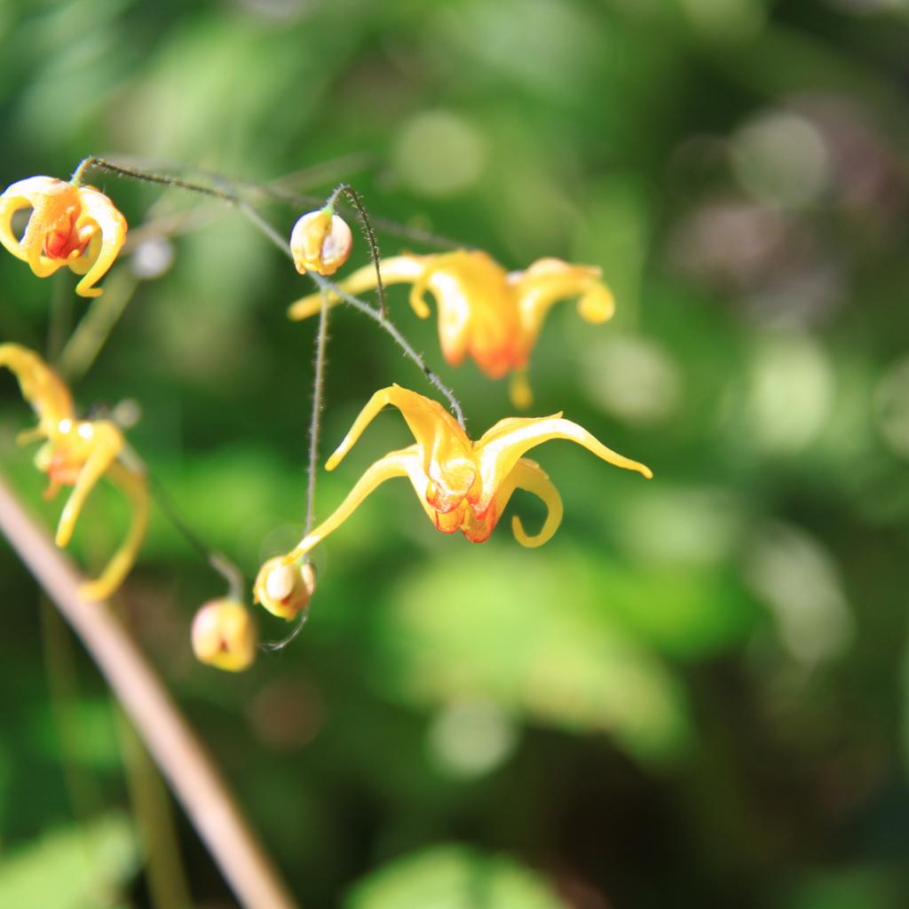 Variété horticole Fleur des elfes 'Amber Queen' (Epimedium 'Amber Queen')