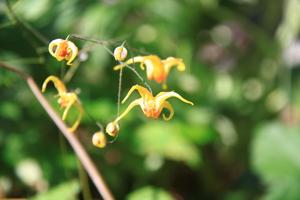 Plantation de l'Epimedium