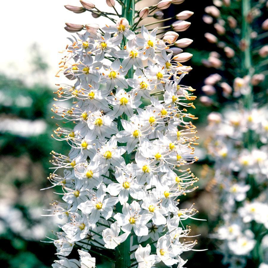 Espèces botaniques Eremurus de l'Himalaya (Eremurus himalaicus)