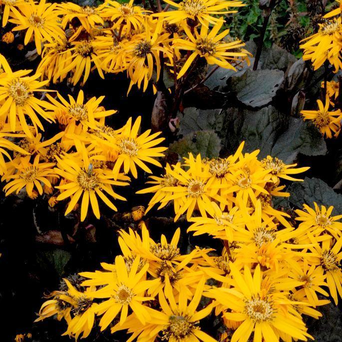 Ligulaires hybrides 'Britt Marie Crawford'