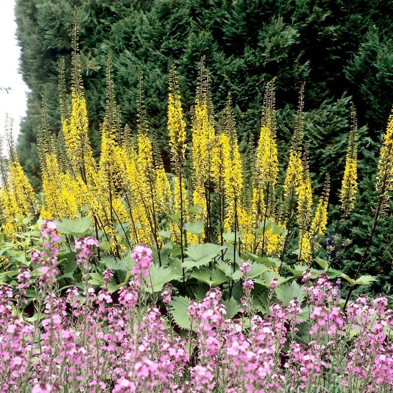 Espèces botaniques Ligulaire de Przewalski (Ligularia przewalskii)