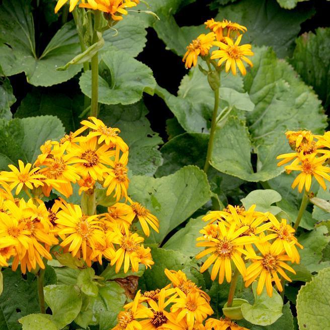 Espèces botaniques Ligulaire d'or (Ligularia dentata)