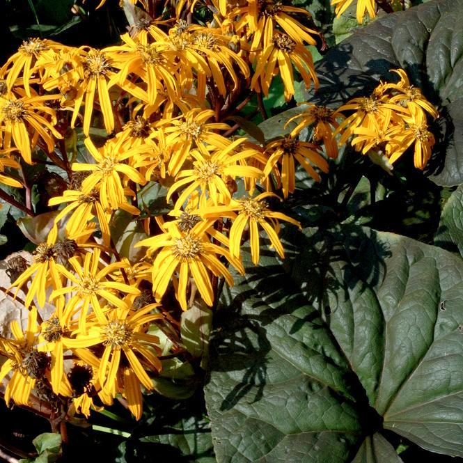 Espèces botaniques Ligularia dentata 'Desdemona'