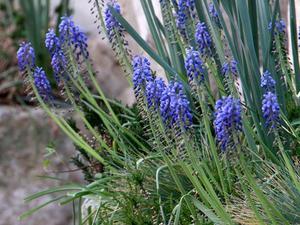 Semis et plantation du muscari