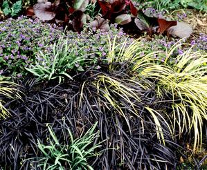 Plantation de l'ophiopogon
