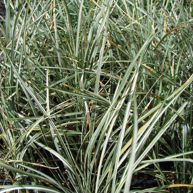 Muguet du Japon (Ophiopogon japonicus) 'Silver Mist'