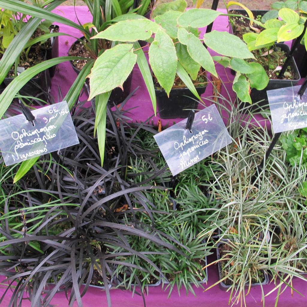 Muguet du Japon (Ophiopogon japonicus) 'Minor'