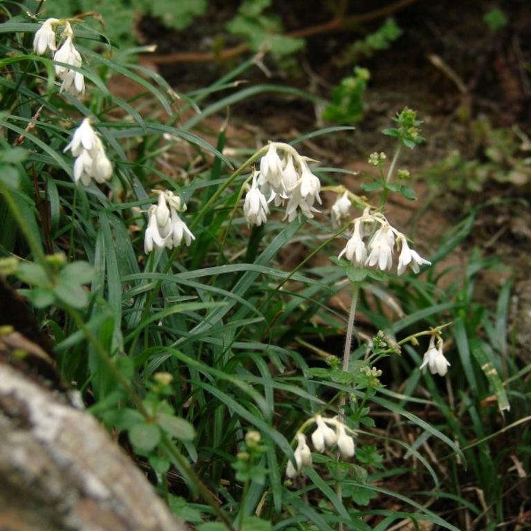 Ophiopogon intermedius Espèce type
