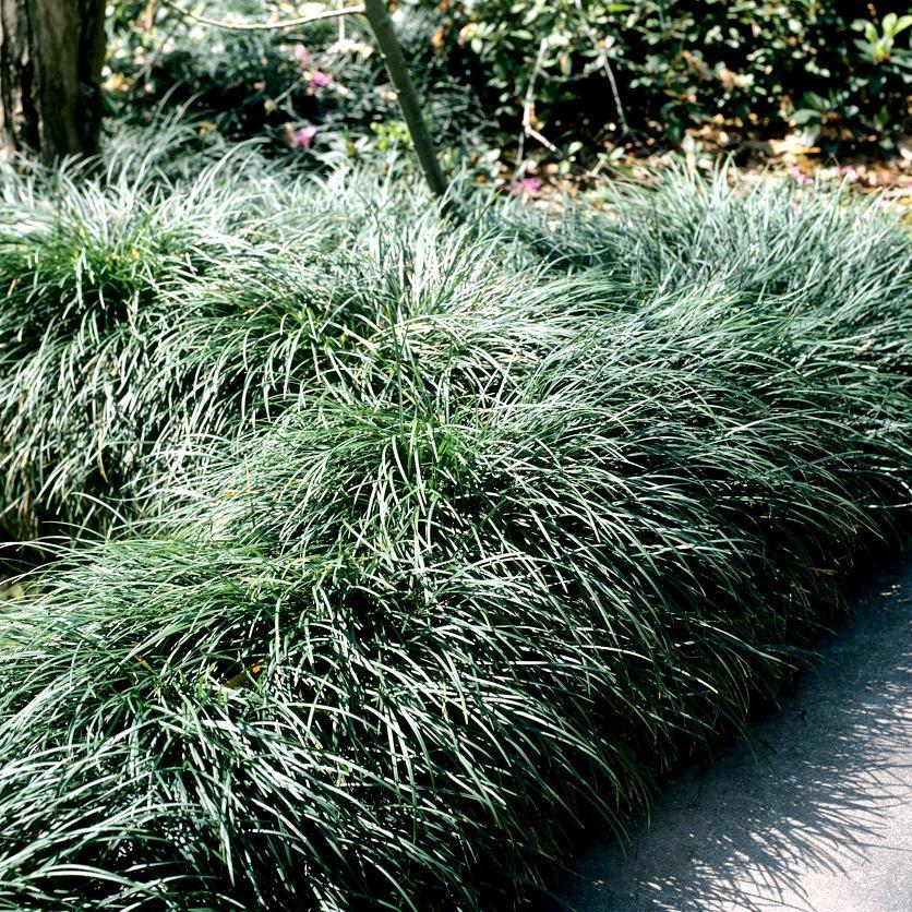 Muguet du Japon (Ophiopogon japonicus) Espèce type