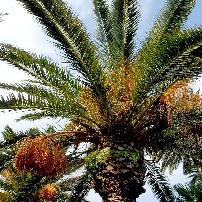 Palmier des Canaries, faux dattier (Phoenix canariensis)