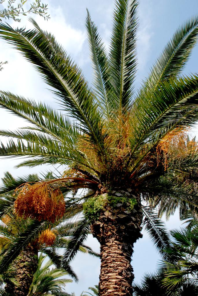 Phoenix planter et cultiver ooreka - Racine d un palmier ...