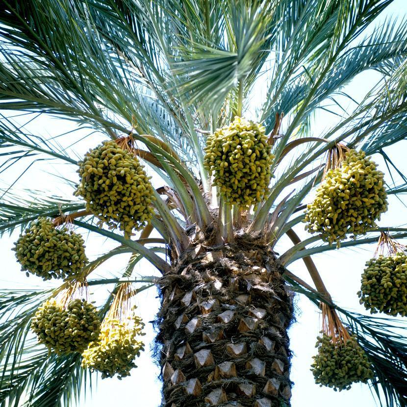 Palmier dattier, Dattier (Phoenix dactylifera)