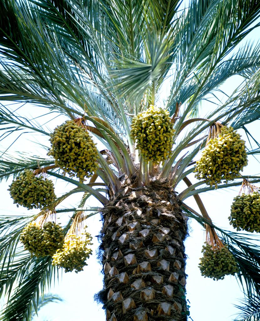 Phoenix planter et cultiver ooreka - Fruit qui pousse sur un palmier ...