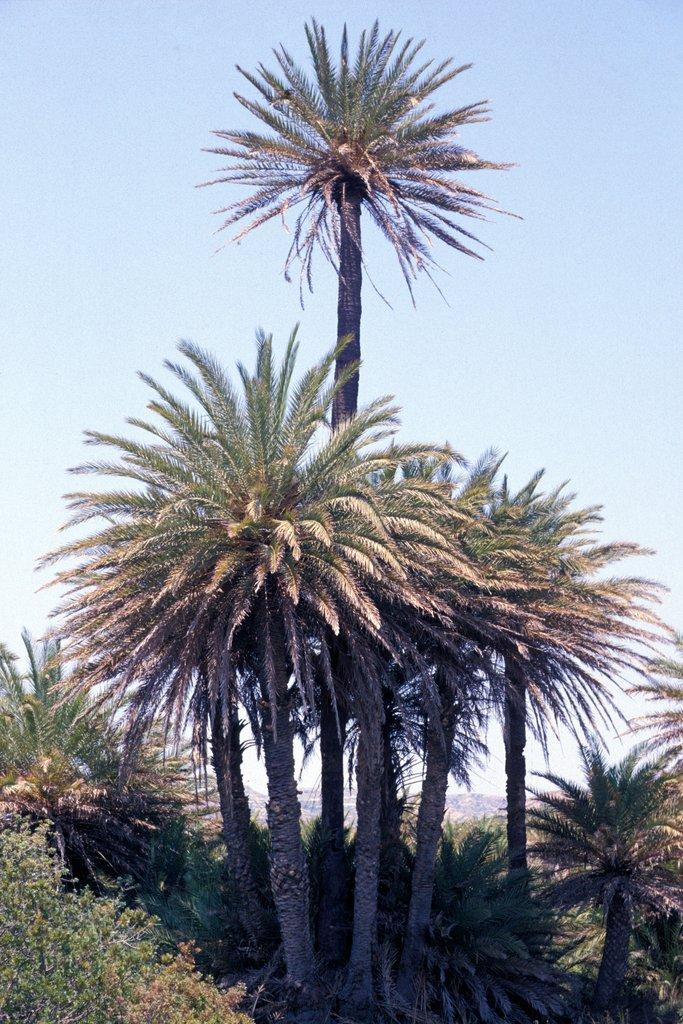 Phoenix planter et cultiver ooreka for Plante palmier exterieur