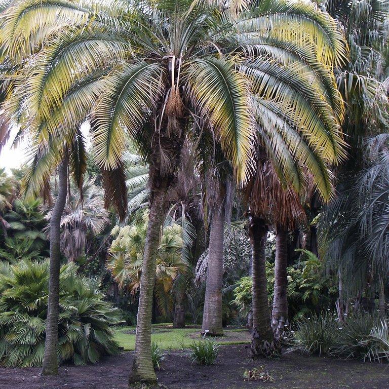Rupicola des Indes, Palmier dattier de falaises (Phoenix rupicola)