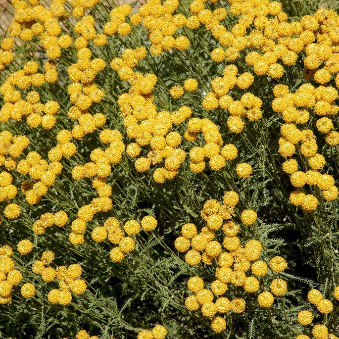 Plantes à feuillage argenté Santoline tomenteuse (Santolina pinnata ssp. neapolinata, syn. S. tomentosa)
