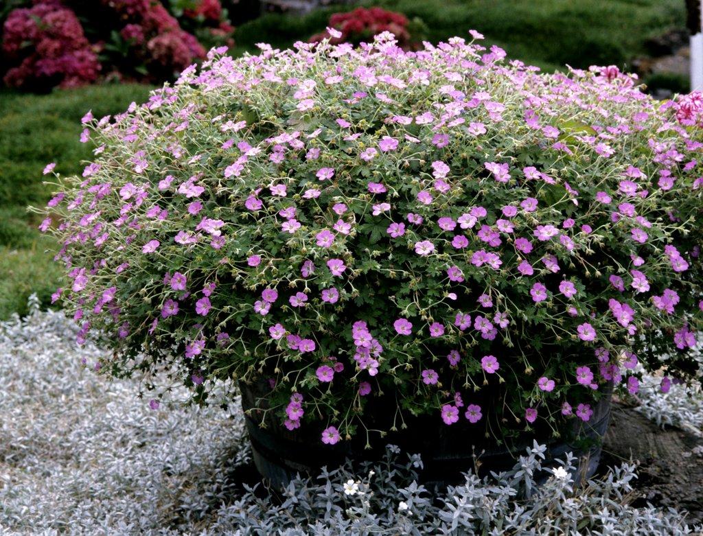 G ranium vivace planter et tailler ooreka - Pourpier vivace en jardiniere ...