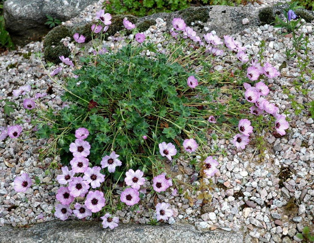 G ranium vivace planter et tailler ooreka for Plante vivace en pot hiver