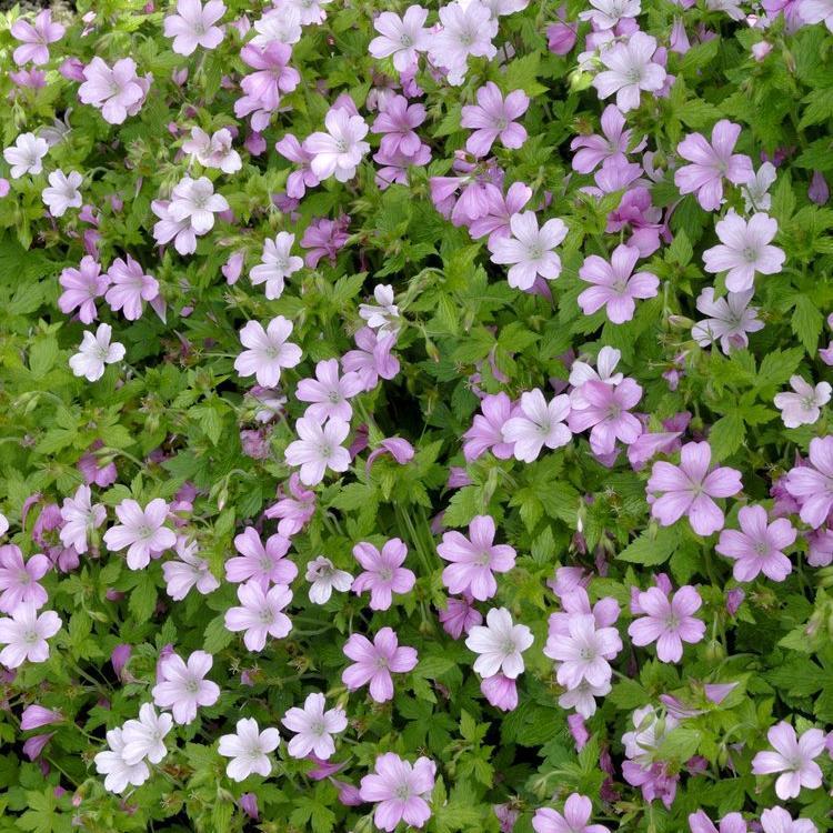 Géraniums tapissants et rampants Géranium d'Endress (Geranium endressii)