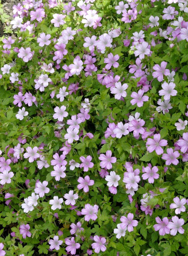 G ranium vivace planter et tailler ooreka - Variete de pommier rustique ...
