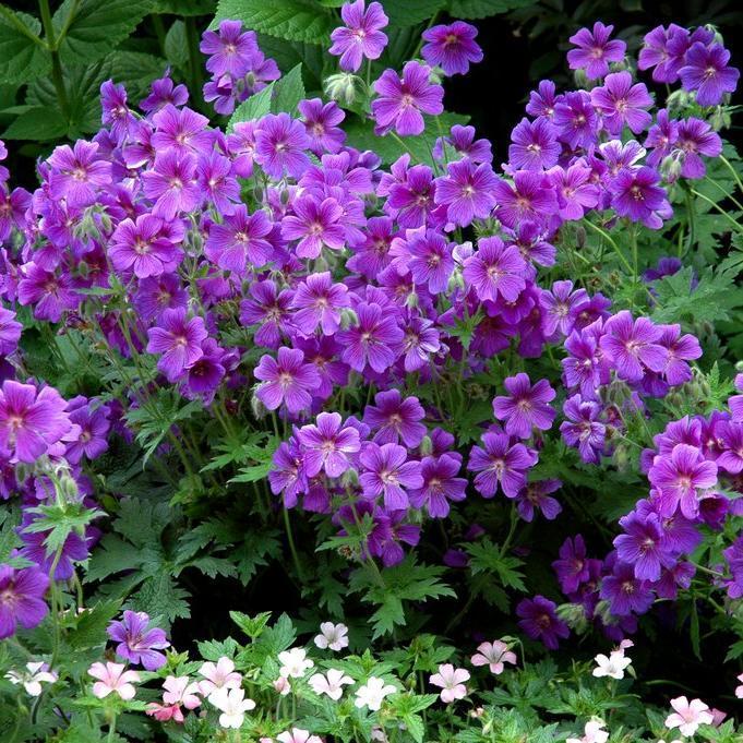 Géraniums tapissants et rampants Géranium magnifique (Geranium x magnificum)