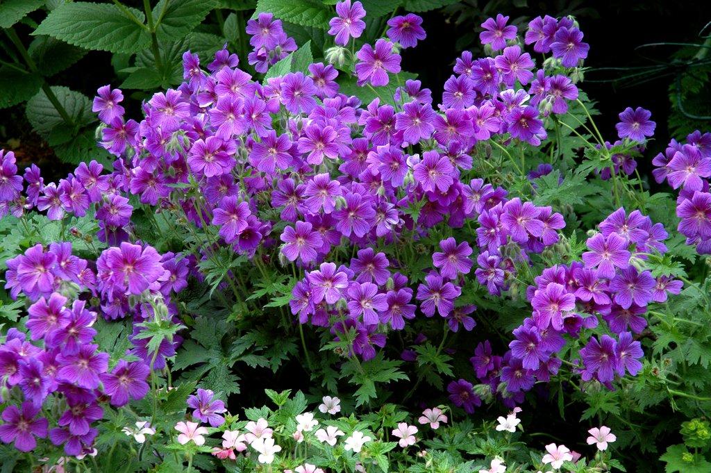 G ranium vivace planter et tailler ooreka - Faire une jardiniere de geranium ...