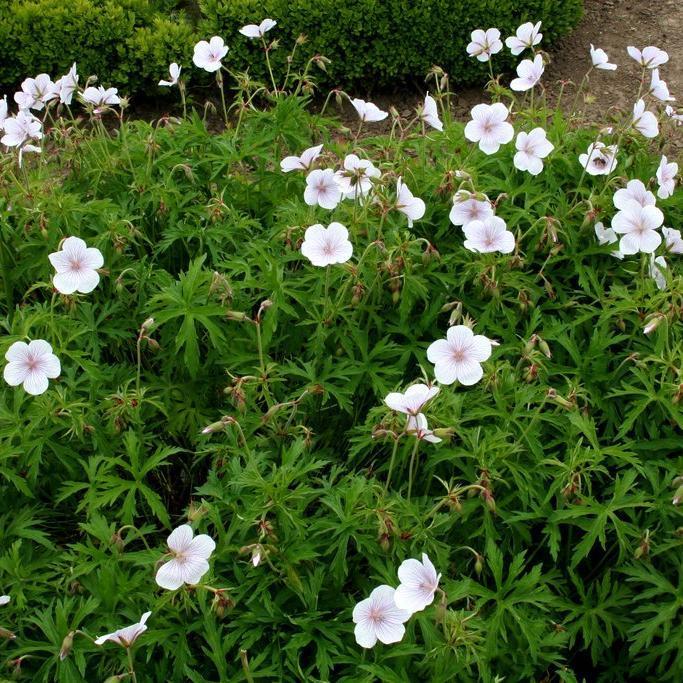 Géraniums vivaces buissonnants Géranium des prés (Geranium pratense)