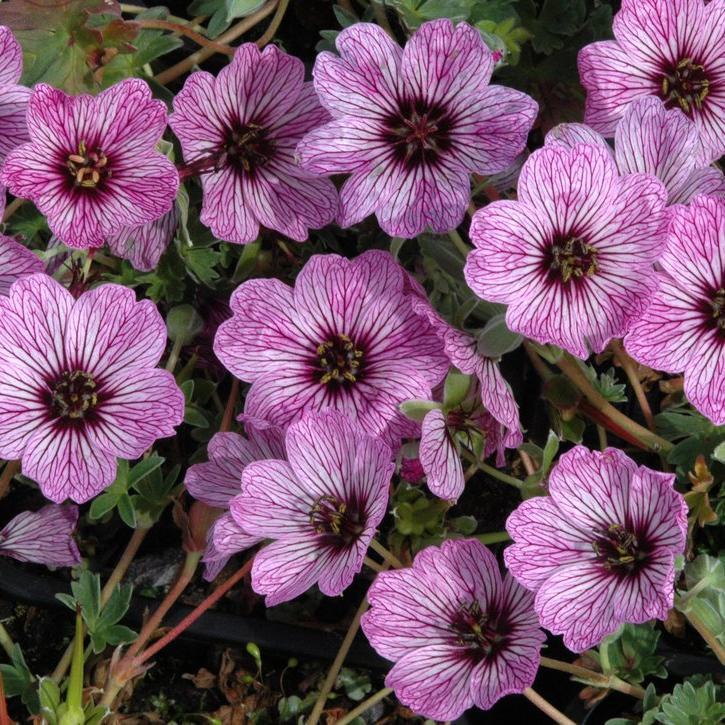 Petits géraniums Géranium cendré (Geranium cinereum)