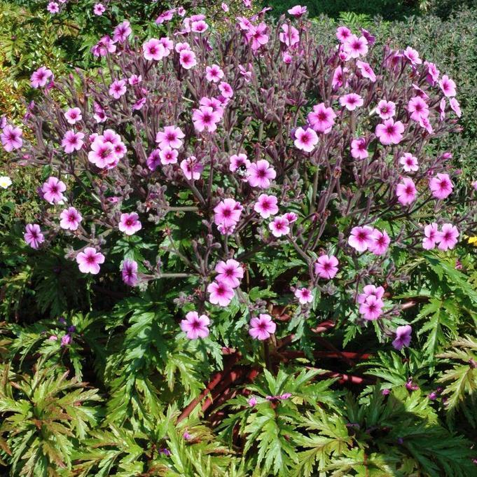 Géraniums vivaces buissonnants Géranium de Madère (Geranium maderense)