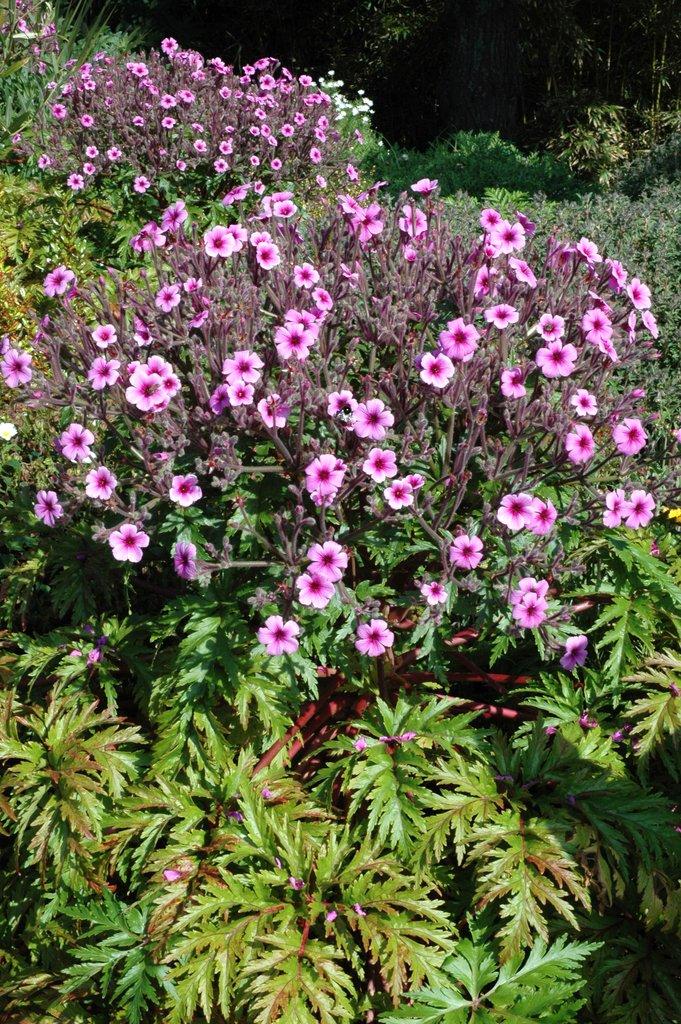 G ranium vivace planter et tailler ooreka for Plantes vivaces rustiques
