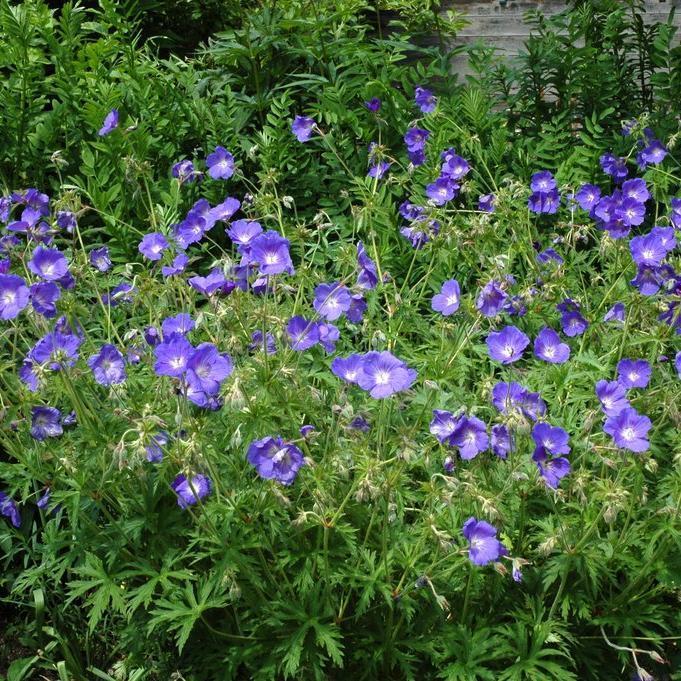 Géraniums tapissants et rampants Géranium de l'Himalaya (Geranium himalayense)
