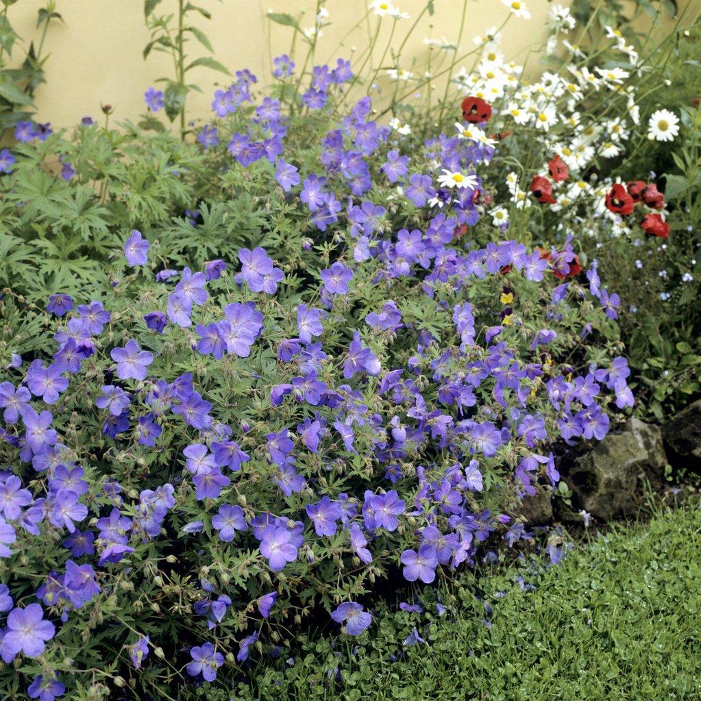 Géraniums tapissants et rampants Géranium 'Johnson's Blue' (G.himalayense x G. pratense)