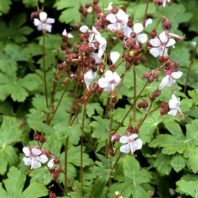 Petits géraniums Géranium à gros rhizome (Geranium macrorrhizum)