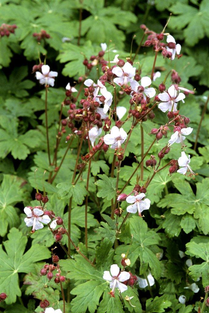 G ranium vivace planter et tailler ooreka - Geranium feuilles qui jaunissent ...