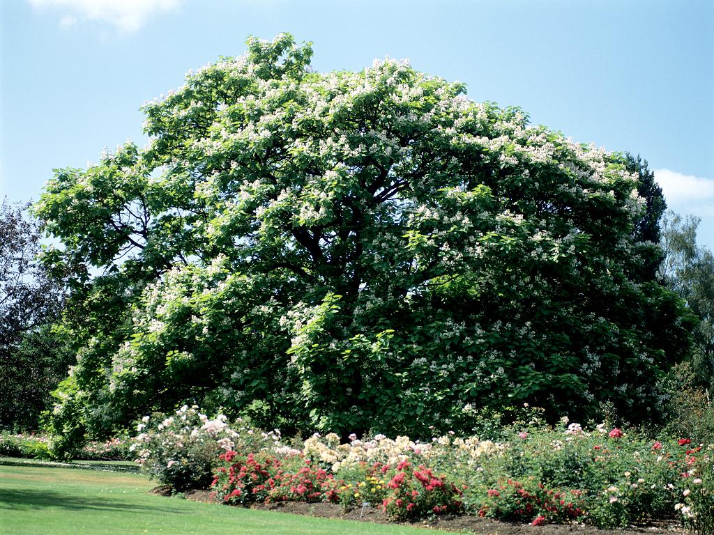 Catalpa planter et tailler ooreka - Taille des rosiers automne ...
